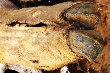(dead) camel's toe