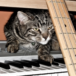 musical tabby
