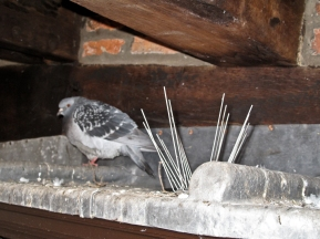 Pigeon spikes stop the pesky birds roosting... hmmmm...