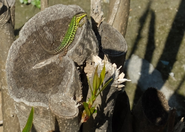 These little lizards are everywhere